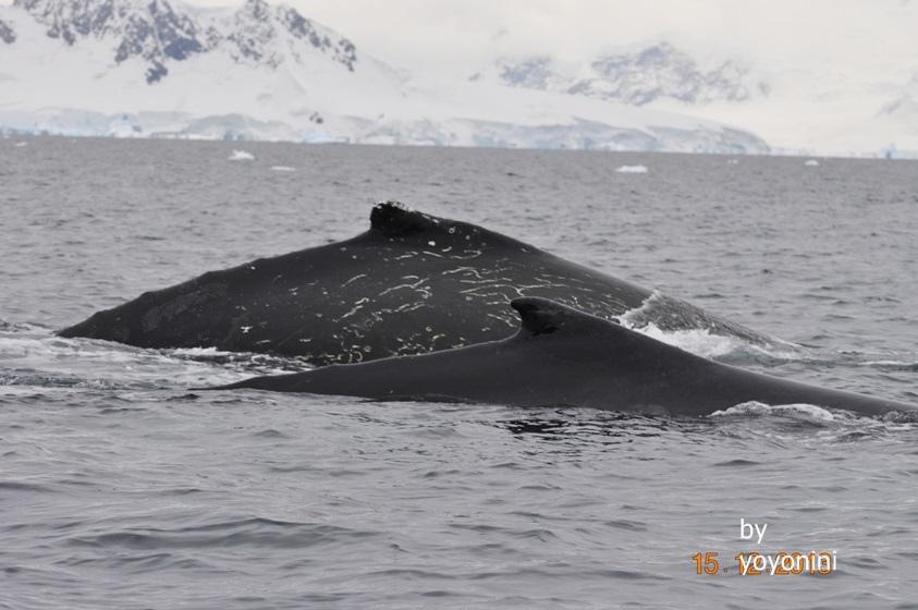 DSC_0963二隻座頭鯨.JPG