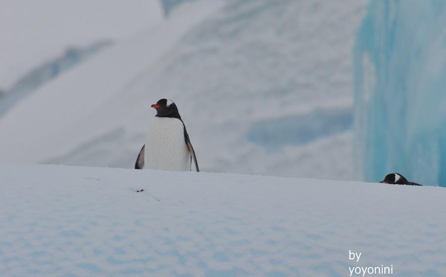 DSC_1064冰山下的巴布亞企鵝.JPG
