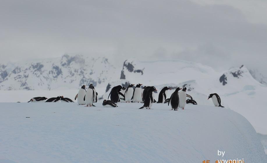 DSC_0005在冰山下的巴布亞企鵝.JPG