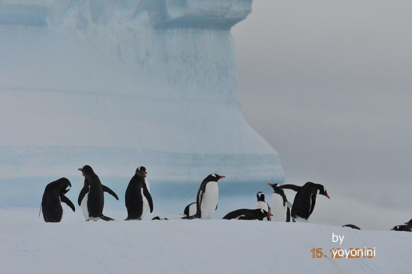 DSC_0018在冰山雪地巴布亞企鵝.JPG
