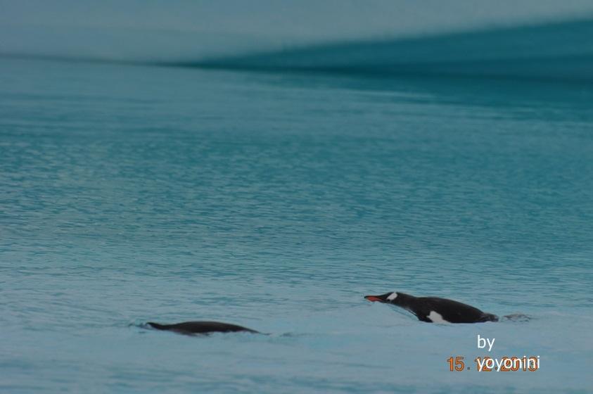 DSC_0028巴布亞企鵝游冰.JPG