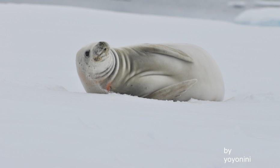 DSC_0047雪地海豹.JPG