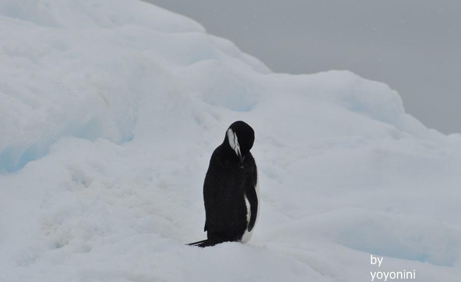 DSC_1016頰帶企鵝.JPG