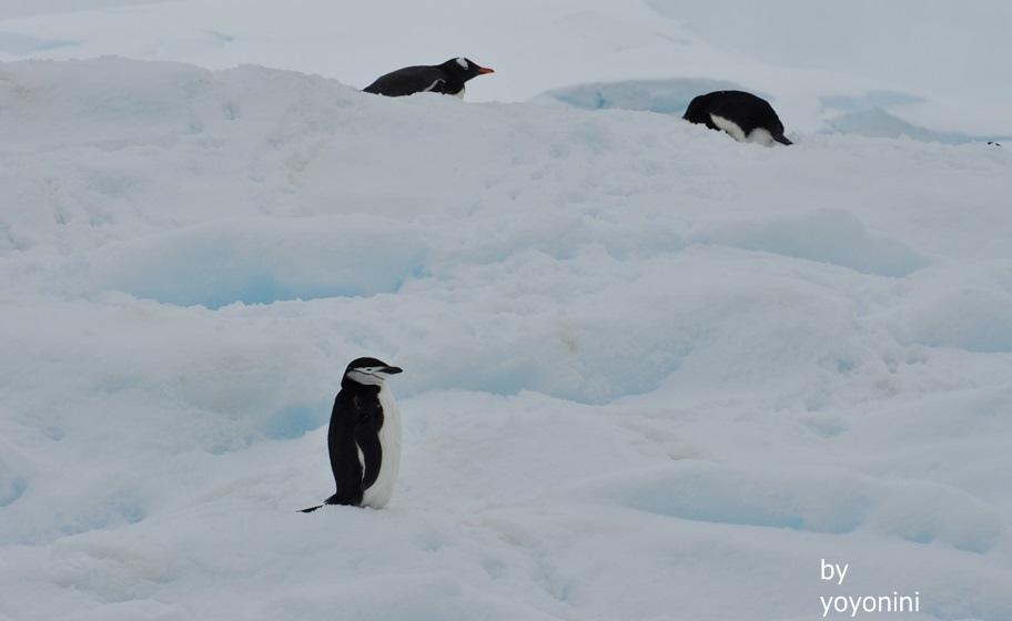DSC_1019頰帶企鵝與巴布亞企鵝.JPG