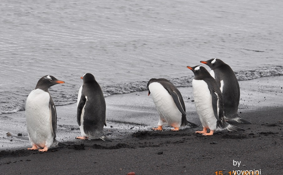 DSC_0165巴布亞企鵝走在黑色沙地.JPG