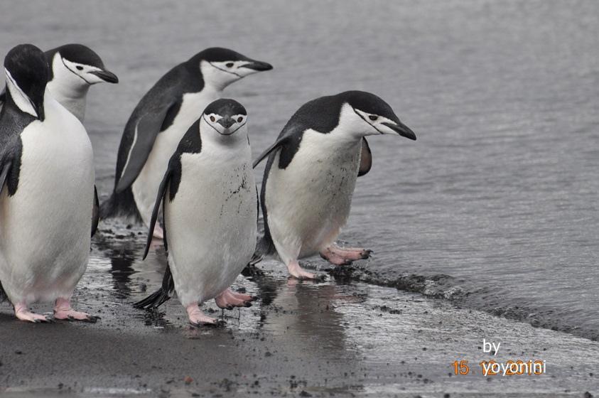 DSC_0232頰帶企鵝走向南極海域.JPG