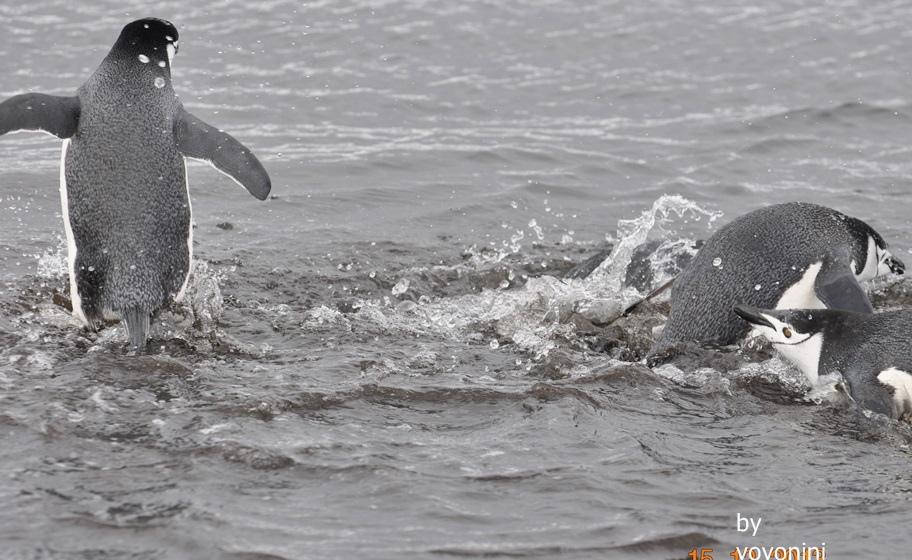DSC_0241頰帶企鵝游泳.JPG