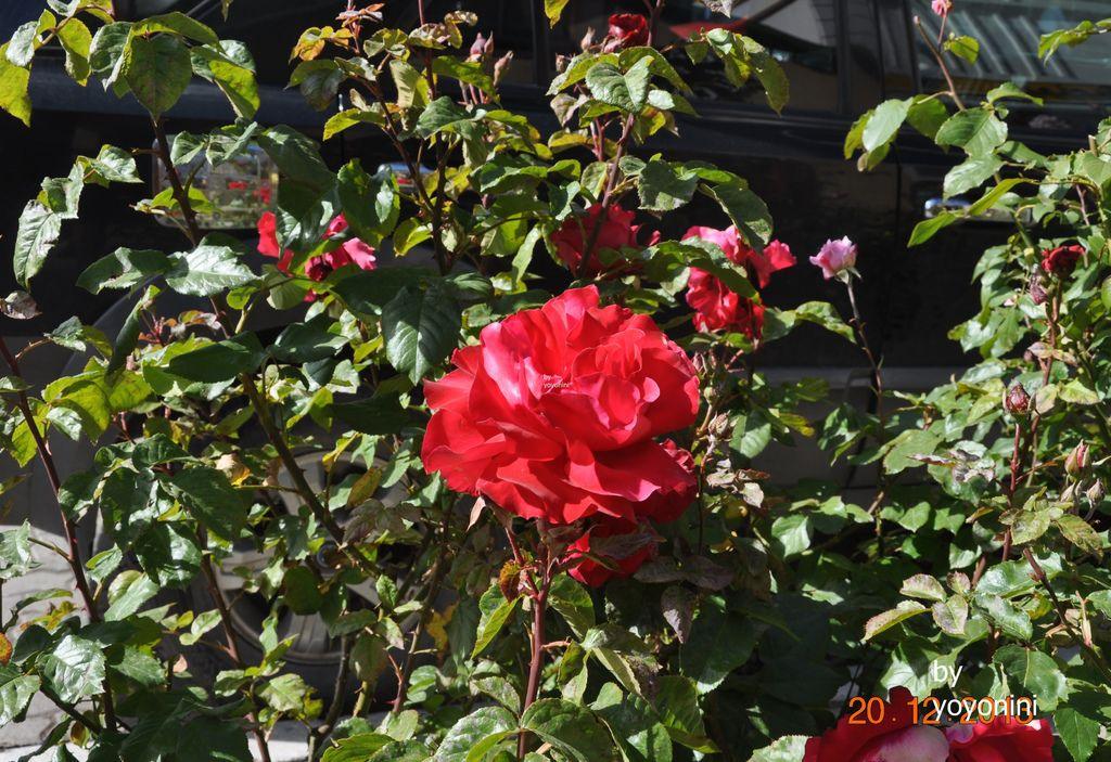 DSC_0999玫瑰花.JPG