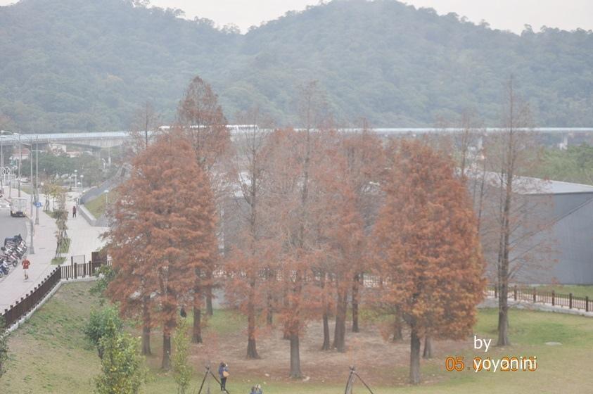 DSC-0244大湖公園落羽.JPG