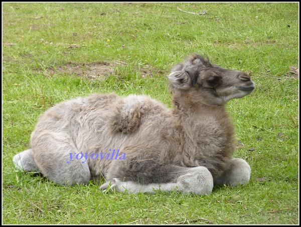 一隻小駱駝出生了 Germany