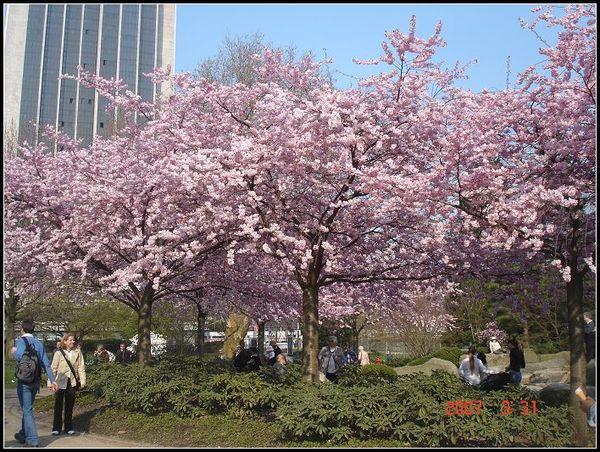 櫻花處處開
