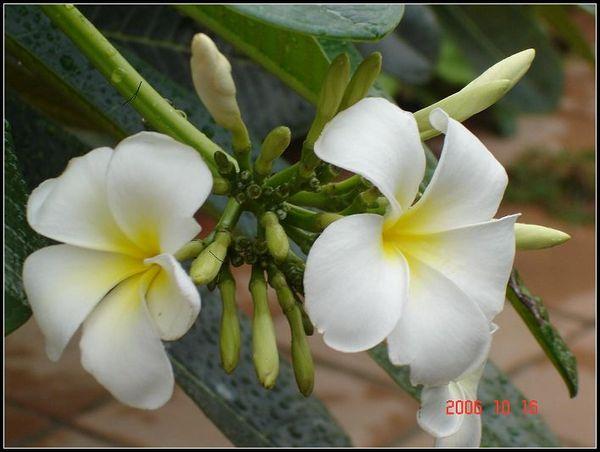 泰國最美的花