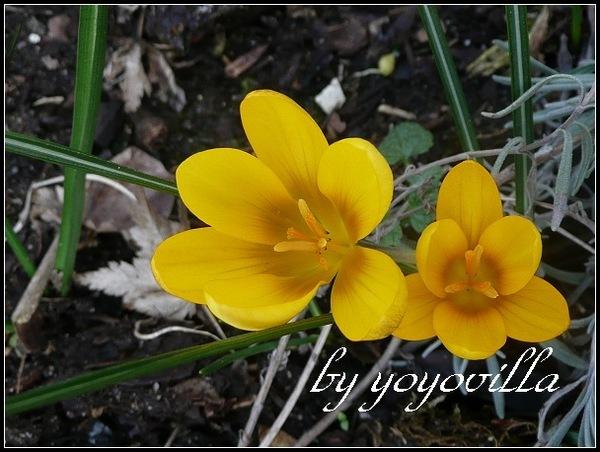 春天的第一朵花