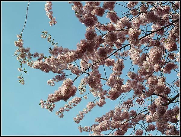 德國 櫻花盛開 German spring time