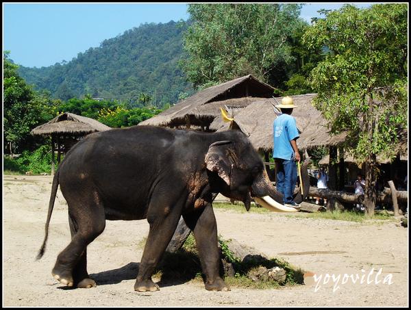 chiangMai 泰國清邁 大象訓練學校