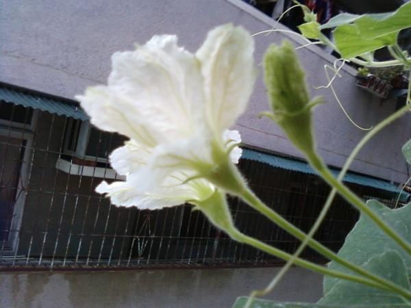 葫蘆花1.jpg