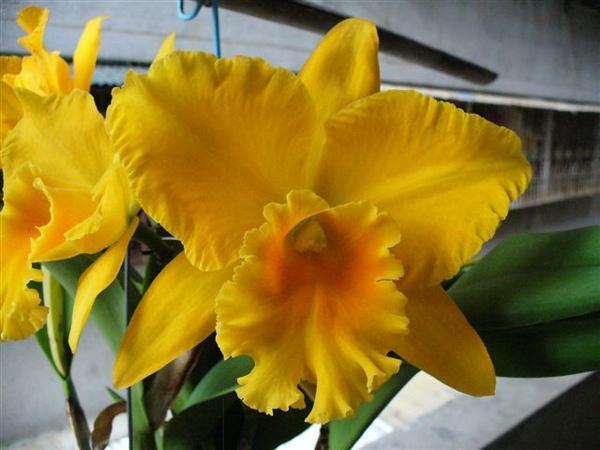 卡多利亞蘭黃色.JPG