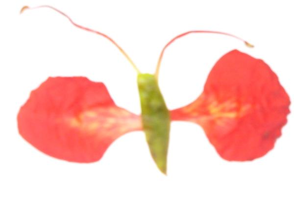 鳳凰花做的蝴蝶.JPG
