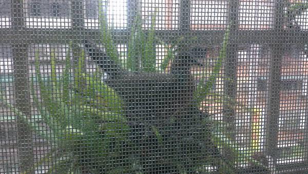 有天蘆薈盆栽上居然又出現斑鳩了!?