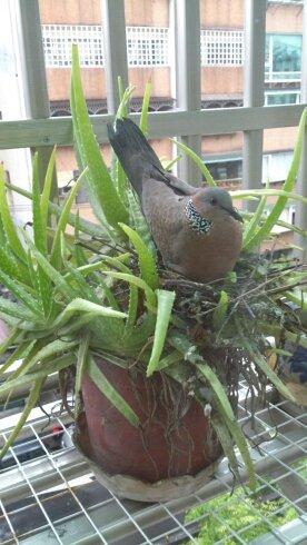 斑鳩孵蛋照片(直向)。