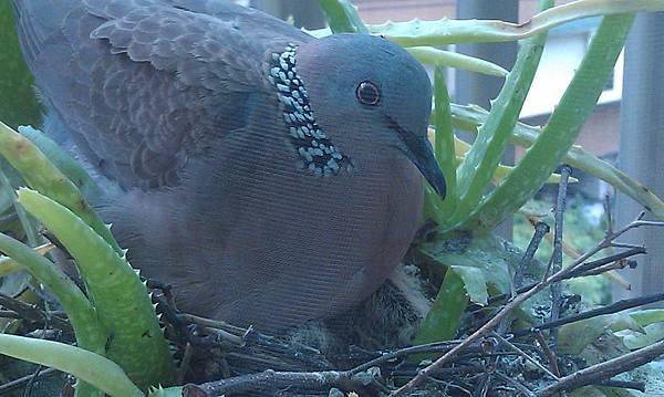 上週去看發現兩隻小斑鳩都孵化了,已經變成母鳥身下的兩顆毛球。