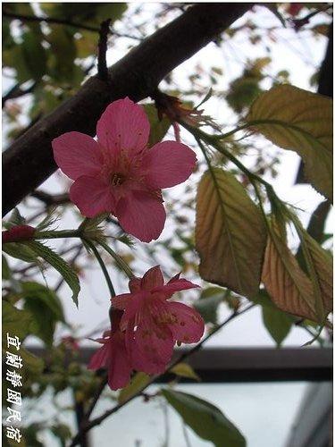 靜園家的山櫻花.jpg