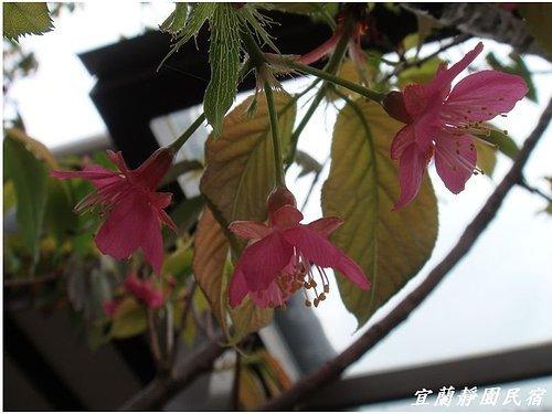 靜園家的山櫻花2.jpg