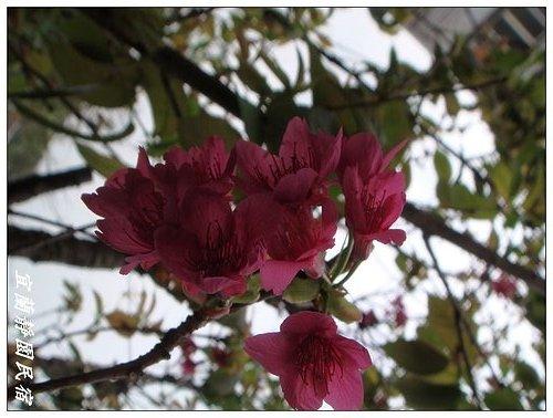 靜園家的山櫻花3.jpg