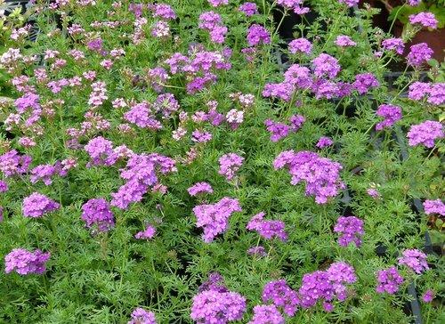 花卉農場11