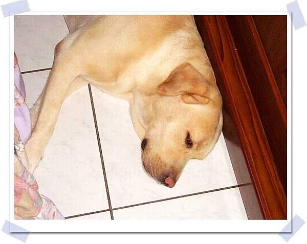 我家的拉不拉多在睡覺.JPG