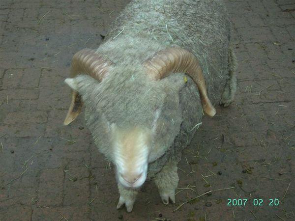 20070220-綠光森林之髒髒羊咩咩1.JPG