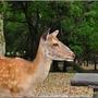 奈良公園005.JPG