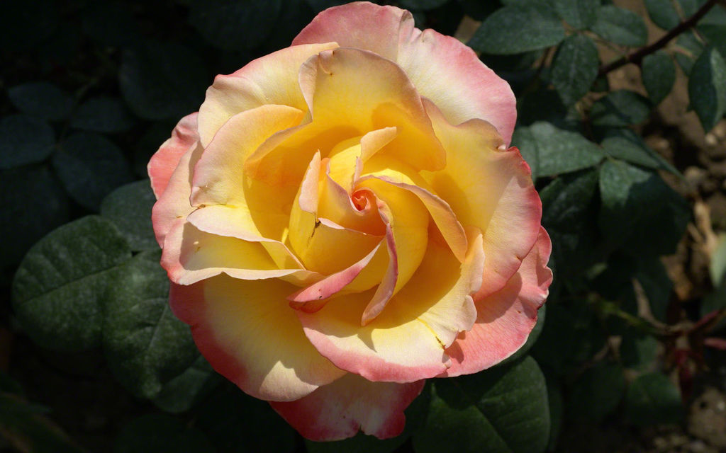 photo-rose-high-yellow-pink-world-photography-resolution-17616