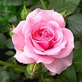 name_your_own_pink_rose_full