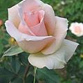 pink-rose-8