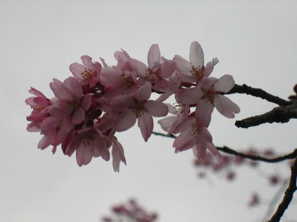 陰天的櫻花