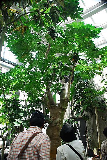 高大的木瓜樹
