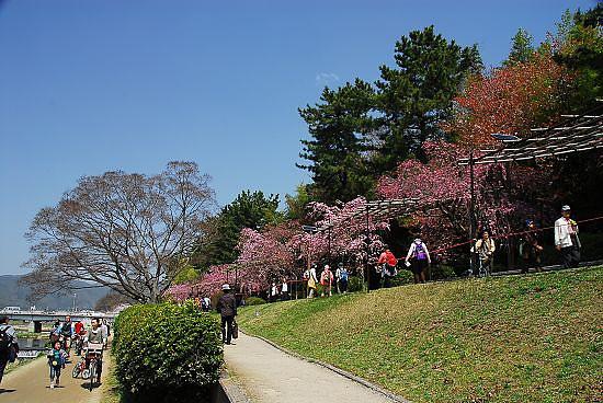 植物園外的粉紅枝垂櫻