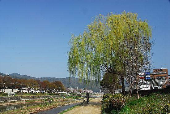 翠綠的楊柳