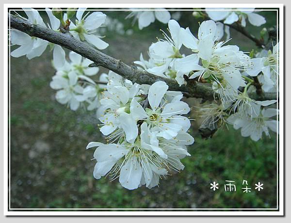 草坪頭賞花3