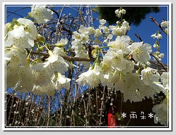 草坪頭賞花21