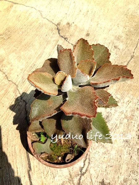 玫葉兔耳-變種1