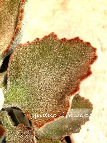 玫葉兔耳-變種2