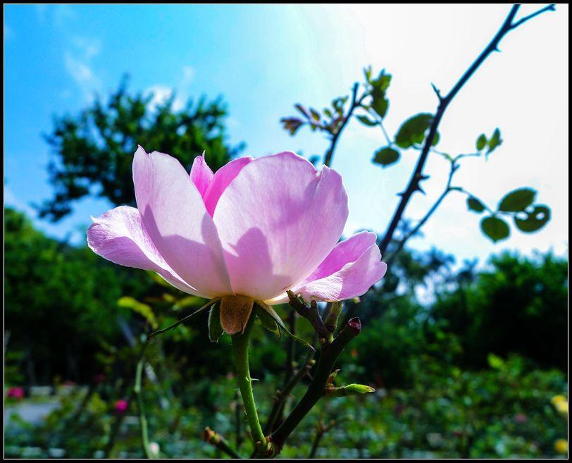 P1540953 Rose_副本