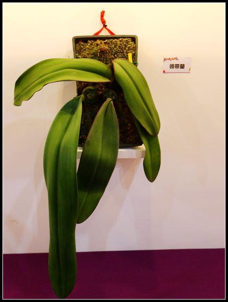 P1540571_副本  蘭花展