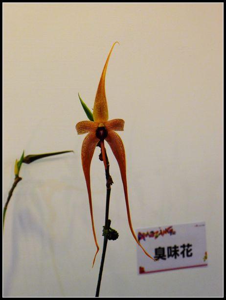P1540558_副本  蘭花展