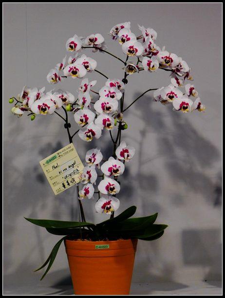 P1540537_副本    蘭花展~2.