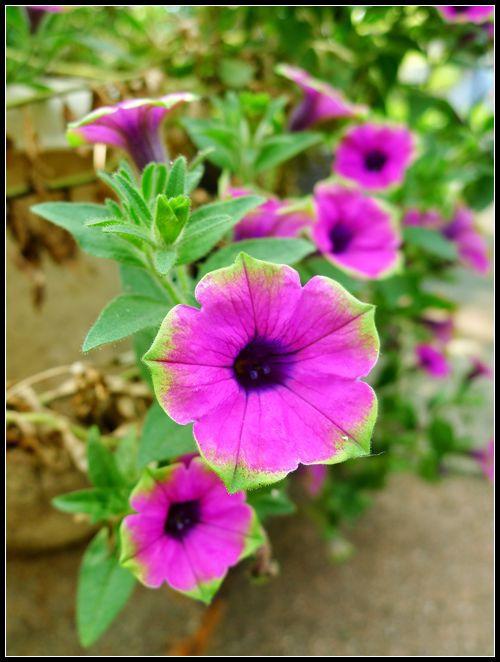 P1560158_副本   小花