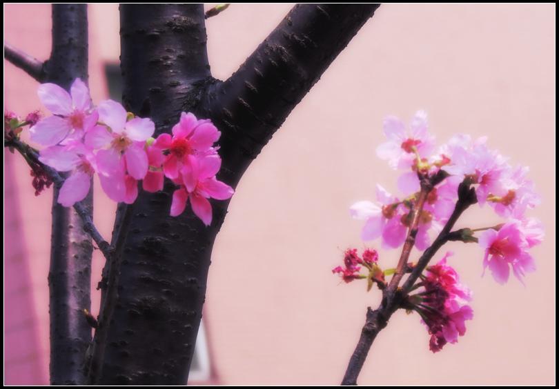 IMG_6827   櫻花
