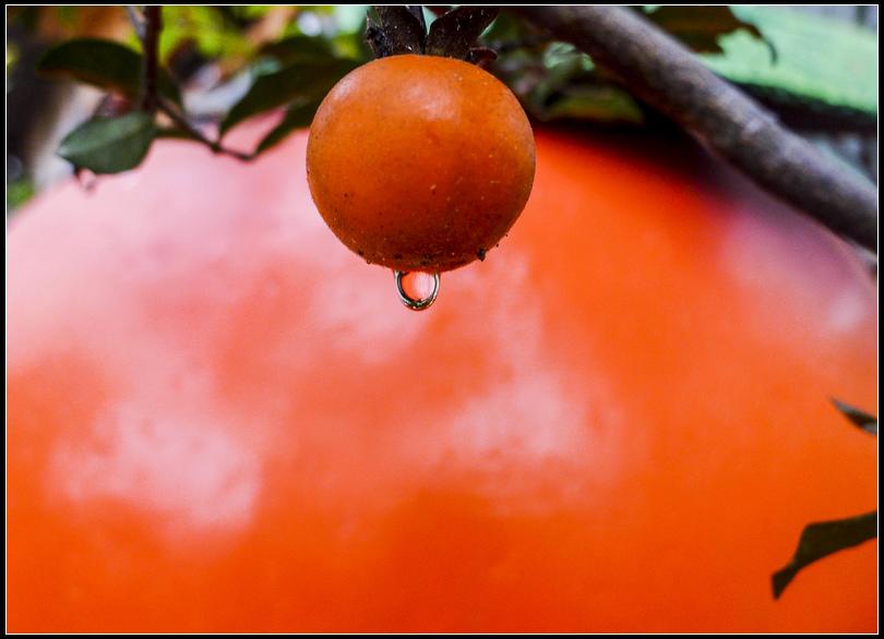 P1650729  柿子